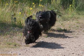 Tibet Terrier in Aktion - Bumo wie meistens vorne weg...