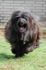Tibet Terrier H&uumlndin Chirayu Bumo