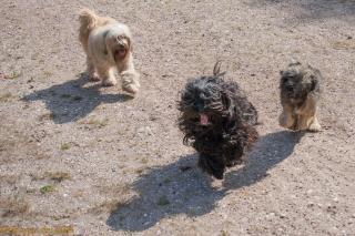 Die Tibbi's Bumo, Champa und Chula in Aktion ... zumindest die beiden erstgenannten :-)
