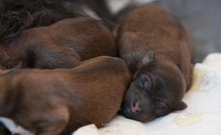 Tibet Terrier R�de Choc au lait mit zwei Geschwistern.