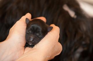 Tibet Terrier R�de Fury, Kopfbild mit zwei Tagen