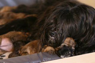 Mama Bumo kuschelt mit dem Tibet Terrier Welpen Sunny