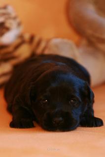 Tibet Terrier Welpe Fury kann (noch) kein Wässerchen trüben.