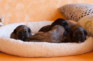 Die Tibet Terrier Welpen Emma und Enriqe üben schonmal das Posing mit der Kamera. Der Rest der Bande schläft lieber noch :-).