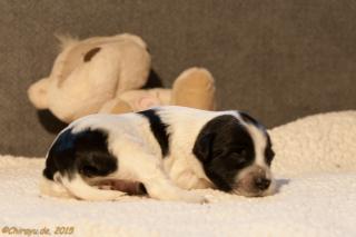 schwarz-weisser Tibet Terrier Welpe