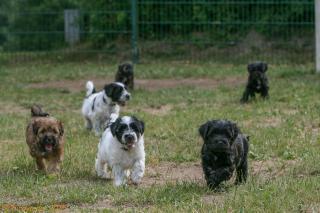 Gruppenfoto ... alle sechs Tibet Terrier Welpen des D-Wurfs auf einen Blick