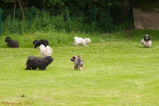 Sieben Tibet Terrier auf einem Bild - Chira, Bo Shanti, Ashoka und Louis (hinten), in der Mitte Najla, vorne Shantara und Chewbacca.