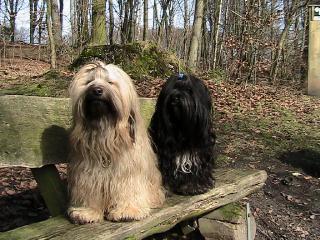 Unsere beiden Tibet Terrier Chula und Shantara auf einer Holzbank
