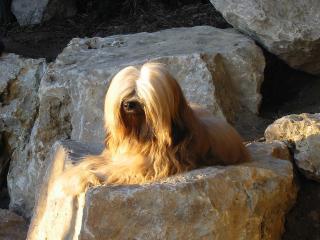 Tibet Terrier R&uumlde Mo Shu Chula auf Felsen liegend in der Abendsonne