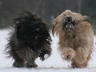 Unsere beiden Tibet Terrier Mo Shu Chula und Karamain Shantara rennend im Schnee