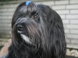 Kopfbild der Tibet Terrier H&uumlndin Karamain Shantara