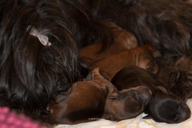 Eine Rasselbande voller Tibet Terrier mit Mama Bumo