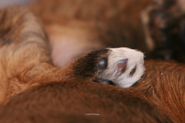 Tibet Terrier Welpen-Pfote