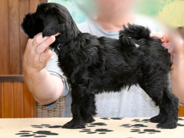Standbild des Tibet Terrier R&uumlden Chirayu Amdowa als Welpe im Alter von 8 Wochen.