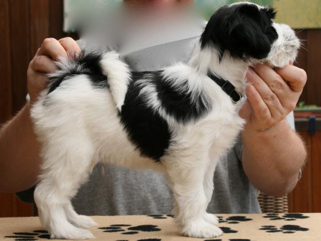 Standbild des Tibet Terrier R&uumlden Chirayu A-nan Louis als Welpe im Alter von 8 Wochen.